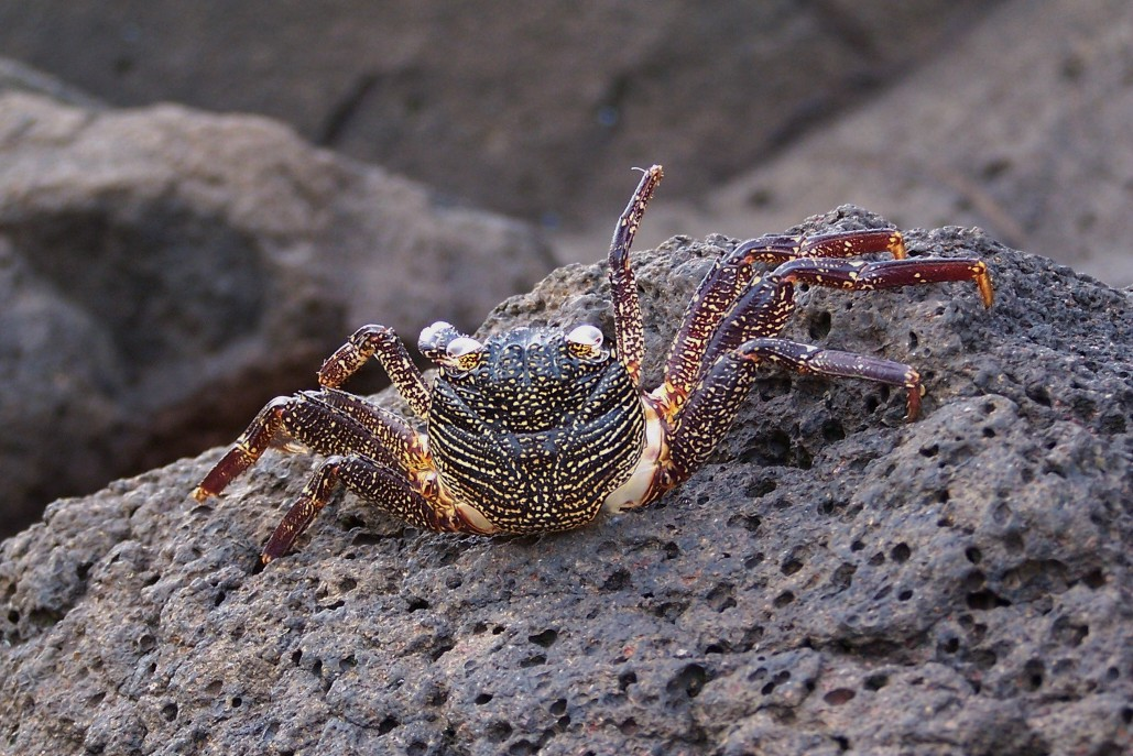 HAWAIIAN_ROCK_CRAB_01_09