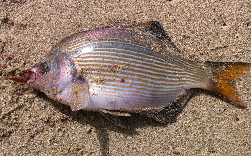 Image gallery striped perch for Ocean perch fish