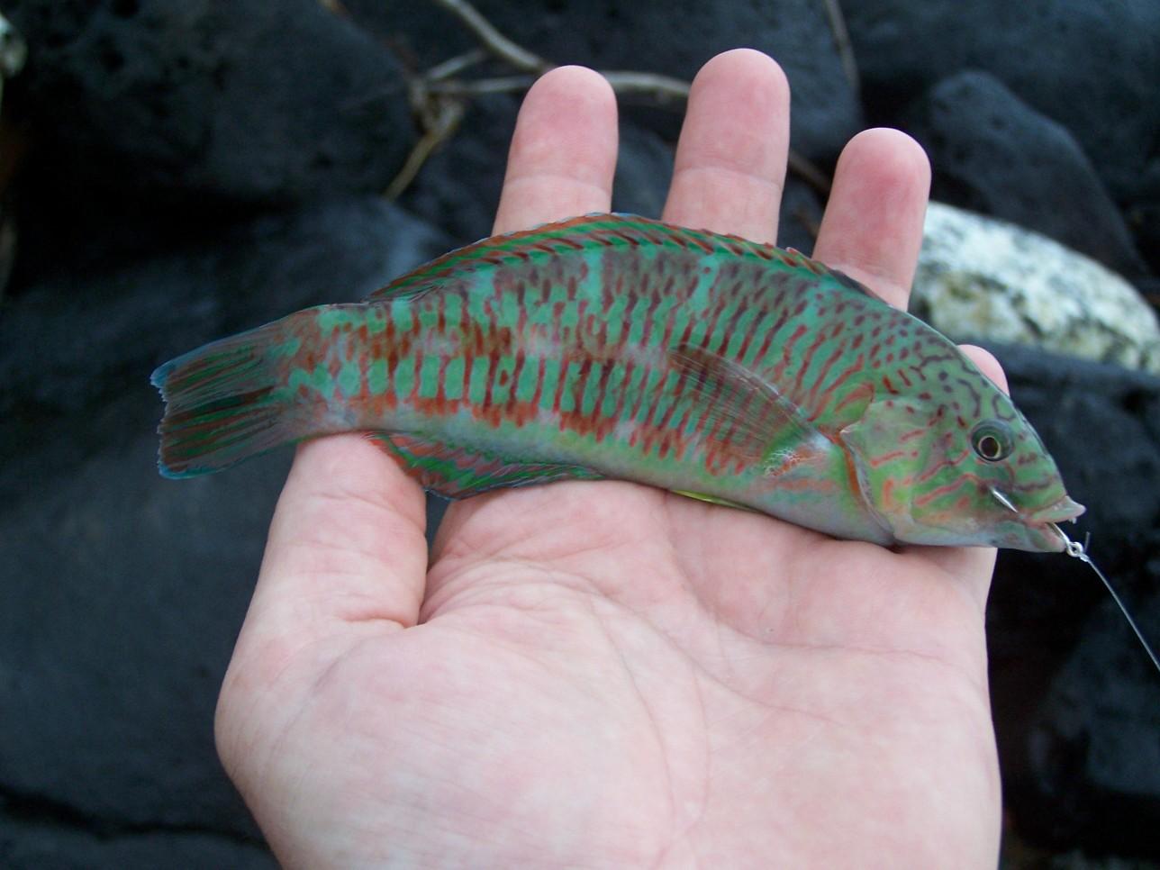 SURGE_WRASSE_KAUAI_FISH_01_09